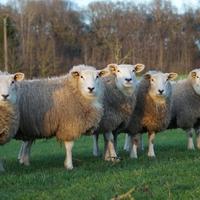 Demi agneau lait coupé-kg