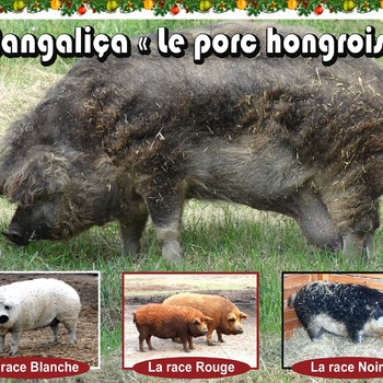 VIANDE FRAICHE DE PORC MANGALICA